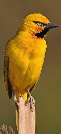Spectacled Weaver (Ploceus ocularis)                                                                                                                                                                                 More