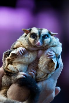 Sugar Gliders: Adorable, But a Huge Commitment Fat Animals, Animals And Pets, Funny Animals, Wild Animals, Sugar Glider Care, Sugar Gliders, Sugar Glider Pouch, Unusual Animals, Animals Beautiful