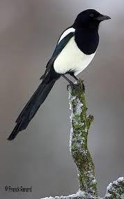 Merle noir m le oiseaux de nos jardins belgique for Oiseaux des jardins belgique