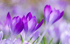 Virágok: fű, makro, Szirom, krókuszok, lila, blur, lila, tavasszal, fókusz, virágok