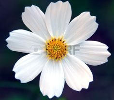 an isolated shot of White cosmos Flower Stock Photo Types Of Flowers, Real Flowers, White Flowers, Beautiful Flowers, Cosmos Flowers, Flowers Nature, Simbolos Tattoo, Tattoos, October Birth Flowers