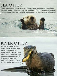 Sea otter, River otter