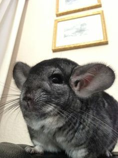 Chinchillas are very easy to care for as long as you find the right cage, they practically take care of themselves Url:http://chinchilla.co/ Fb fan page: https://www.facebook.com/chinchilla.co