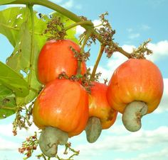 """Not a lot of people know that cashew nuts come from this tasty fruit. In El Salvador it's call """"MARAÑON"""" and you eat it as a fruit or squeeze the juice out to drink than you roast the nut and enjoy the cashew."""