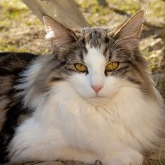 Swedish Forest Cat - http://catbreedsinformation.com/swedish-forest-cat/ For people that are looking for a large sized, medium coated cat breed, this is the cat for them. The Swedish Forest Cat is a popular cat breed originally from Sweden.This cat breed has won over the hearts of their owners with ease. This is because they are very curious and playful.Their personality and demeanor is what makes most owners incredibly happy to have them in their homes for their entire life