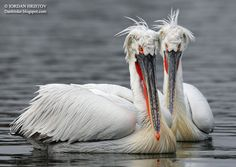 dalmation pelican | Dalmatian Pelican photography, author: Iordan Hristov © 2013