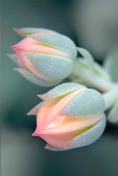 love these things for harley lounge with pop of pretty orange. succulents are such creatures. Flowers of the Molded Wax Agave (Echeveria agavoides) Unusual Flowers, Amazing Flowers, My Flower, Pretty Flowers, Beautiful Flowers Photos, Strange Flowers, Macro Flower, Black Flowers, Pink Flowers
