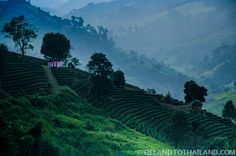 Guide to finding this hillside tea crop in Mae Salong, Thailand | tielandtothailand.com