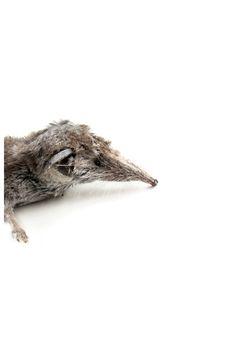 la vida loca Pepe como observador atento que es, encontró esta musarañita un poco despachurrada entre las briznas de hierba el mamífero más pequeño que hay sobre la tierra es un ser extraordinario y fue una suerte encontrarlo esta, como sus congéneres, tuvo una intensa vida con apenas 5 centímetros de longitud, su corazón trabajó a más de 1.100 latidos por minuto y se reprodujo posiblemente 4 o 5 veces a lo largo de su corta vida, que llegaría a poco más de un año  la musarañita vivió…