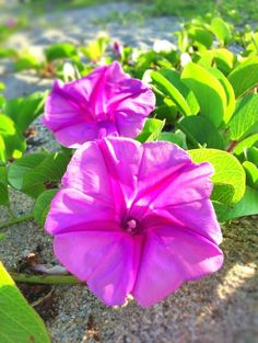 Morning glory on the vine. Image from @FtLauderdaleSun