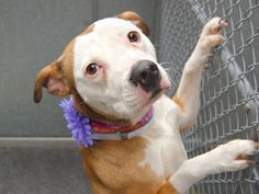 Safe! - 05/13/14 Manhattan Center -P  My name is VELA. My Animal ID # is A0998444. I am a spayed female tan and white pit bull mix. The shelter thinks I am about 2 YEARS   I came in the shelter as a OWNER SUR on 05/02/2014 from NY 10458, owner surrender reason stated was LLORDPRIVA. **LIVED WITH CATS** https://www.facebook.com/photo.php?fbid=797421920270689&set=a.611290788883804.1073741851.152876678058553&type=3&theater