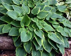 """Hosta """"Abby"""" Small - This is a sport of 'Gold Drop' discovered by Peter Ruh in 1990. It has a very irregular yellow margin which tends to streak toward the middle. The growth rate is vigorous and has tall flower scapes for its size (8 x 10""""). The leaves are undulate and heart-shaped. The flowers are purple and it is recorded as probably sterile."""