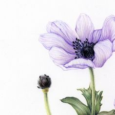 3 vind-ik-leuks, 1 reacties - Kim, Narae (@kimnaraeworks) op Instagram: '디테일 #아네모네 #anemone #botanicalart #식물세밀화 #보태니컬아트 #꽃그리기 #coloredpencils #색연필일러스트 #취미미술 #원데이클래스 #관찰드로잉'