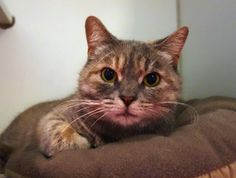 STARLIGHT is an adoptable Domestic Short Hair searching for a forever family near Methuen, MA. Use Petfinder to find adoptable pets in your area. - adopted