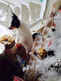 Santa where are you Toy Fox Terriers, Boston Terrier, Santa, Dogs, Animals, Animais, Animales, Animaux, Pet Dogs