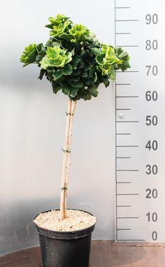Fan Leaf Tree Troll - Ginkgo biloba Troll online kaufen