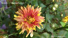 Flowers from My Cam: 8. Sevanthi / Chrysanthemum ~ Kurinji Kathambam
