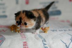 エキゾチックショートヘアのタレ目猫 めめちゃんの写真を ふく と ごま blogより紹介します。 めめちゃんは2007年5月、帝王切開のあとわずか85gの未熟児状態で産まれました。今は4歳を過ぎ立派な大人猫になりましたが、産まれた当時の写真はあまりにか弱くて心配になるほど。管理人さんの懸命な努力によって少しずつ愛らしく成長していく様は感動的です。今回はめめちゃんがまだ赤ちゃんの頃のとびきりキュートな写真をピックアップしてみました。 ソース ふく と ごま blogは猫の「ふく」「ごま」「めめ」の愛らしい姿で人気の猫ブログです。管理人hanaさんの文章とグラフィックデザイナー桜子さんの撮影した写真で日々更新されています。ユーモアたっぷりのとても愉快な猫ブログでおすすめです。 特に2007年5月のアーカイブ辺りからは必見。めめちゃん誕生とその後の困難を乗り越えていくところが素晴らしいです。 ぜひ訪問してみてください。 ふく と ごま ふく、ごま、めめの本もあります。紹介は下記ページに掲載されて...