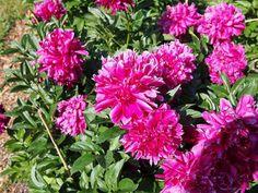 Nagyméretű illatos, telt piros virágú bazsarózsa fajta. Magassága 100 cm.