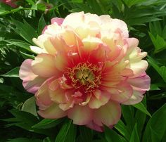 Single to Semi-Double Itoh Peony 'Julia Rose' (Paeonia itoh)
