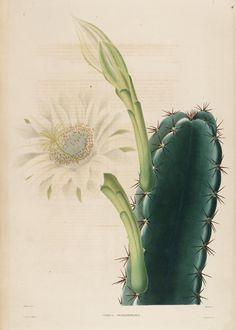 Iconographie descriptive des cactées, ou, Essais systématiques et raisonnés sur l'histoire naturelle, la classification et la culture des plantes de cette famille - Biodiversity Heritage Library