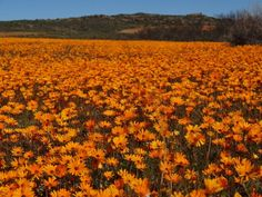 South Africa's West Coast Spring Flowers End Of The World, Countries Of The World, Table Mountain, Kruger National Park, Wildflowers, Spring Flowers, West Coast, South Africa, Wild Flowers