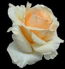 Blanc éclatant Belle Rose