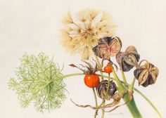 Beverly Allen - Collection with Queens Anne's lace, hippeastrum seeds and rosehips - Watercolour on vellum