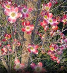 Red Cloud Dogwood - Cornus florida Outstanding 4-season color tree Large, early-blooming, red-pink blossoms Dwarf tree, perfect for smaller yards Red-purple fall foliage Zone 5-9: From THE ARBOR DAY FOUNDATION (ships bare root) $16.98