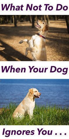 We have all had that sinking feeling. You call your dog, you know he has heard you, and he totally ignores you. You know you need to do something straight away or the habit of ignoring you will get worse. But what should you do? What is the best reaction
