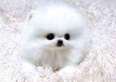 teacup pomeranian puppies for sale in colorado | Zoe Fans Blog