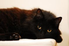 tumblr beautiful cat | ... tumblr.com/post/11162481340/home-of-amazons-beautiful-black-cat-by