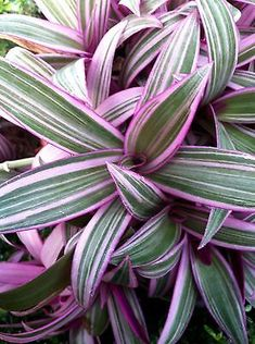 GREEN, PINK AND WHITE STRIPED LEAVES THAT GROW IN ALMOST A ROSETTE FORM. DOES WELL IN SHADE TO FULL SUN. ITS BEAUTIFUL ALONE OR IN A CONTAINER POT AND WITH OTHERS IN A GARDEN. Уличные Растения, Садовые Растения, Сады На Открытом Воздухе, Контейнерные Растения, Садовые Дорожки, Искусство Устройства Садов