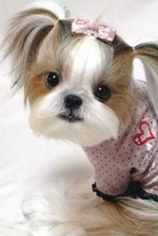 Very cute dog with ribbon in hair and big eyes