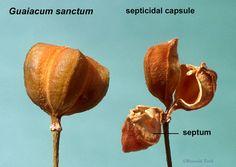 Guaiacum sanctum   Septicidal Capsule.