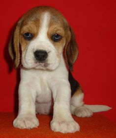 Cute, little beagle puppy.. Click the pic for more #aww... I want a Beagle.. such a sweet breed!