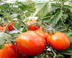 ジュース用に品種改良された加工用トマト「カゴメ952」