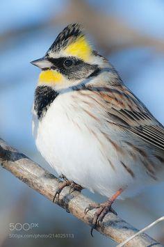 노랑턱멧새 by 55abk via http://ift.tt/2shb8er