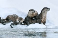 Ice Fishing - River Otters by nature photographer Thomas Mangelsen.