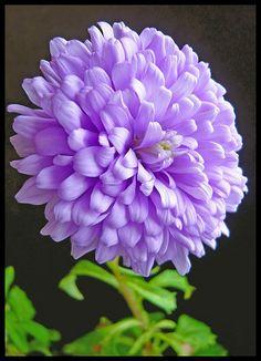 Flowers-Purple Dahlia