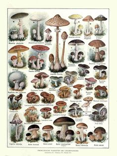 Some common Ascomycetes and Basidomycetes of the World. Histoire Naturelle Ilustree: Les Plantes, Julien Constantin and F. Edible Mushrooms, Wild Mushrooms, Stuffed Mushrooms, Poisonous Mushrooms, Mushroom Drawing, Mushroom Art, Botanical Drawings, Botanical Prints, French Illustration