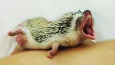 """The biggest yawn in the world comes from the most sleepy new baby born. """"Let me sleep Mom!"""""""