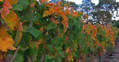 Vines of the Estate
