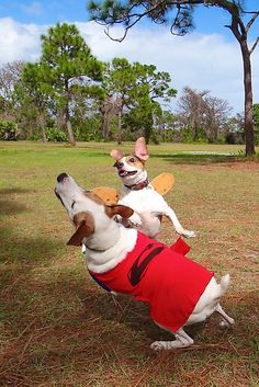 Superman and a butterfly playing fetch. Jack Russell Terrier Dottie and mix Cede. Dogs in costume