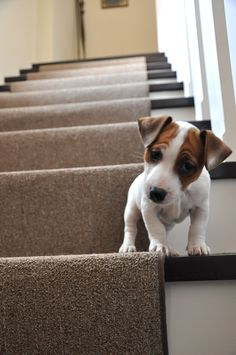 Little Henry on the big stairs! #jackrussell