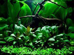 Layout 66 - Tropica - Tropica Aquarium Plants