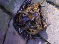 Frogs in my backyard / kikkers in mijn achtertuin.