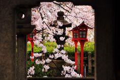 六孫王神社 桜 新幹線の見える京都の桜の名所