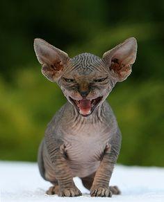 Sphinx Cats. I want a gremlin haha