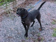 Sophie is an adoptable Labrador Retriever Dog in Washington, DC. Sophie a loveable young black labmix. She's a super social girl coming to start a new life in DC fromLexington, VA where her time had...